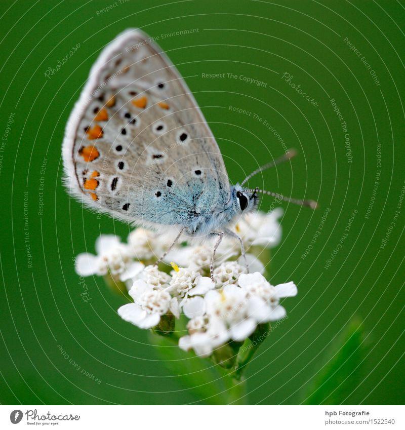 Hauhechelbläuling Natur blau grün schön Tier Umwelt natürlich außergewöhnlich fliegen Stimmung Wildtier ästhetisch Flügel Blühend beobachten Vergänglichkeit