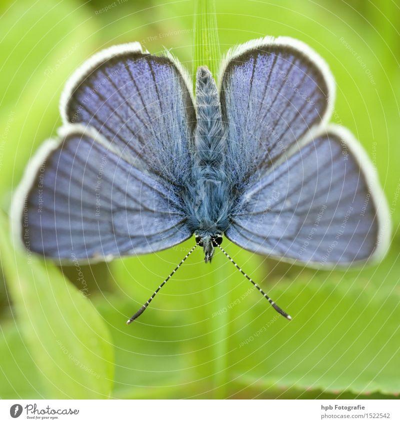 Hauhechelbläuling Natur blau grün schön Sommer Erholung Tier Umwelt Frühling natürlich außergewöhnlich fliegen elegant Wildtier ästhetisch Lebensfreude