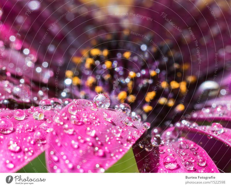 Sparkling like Diamonds Natur Pflanze Wassertropfen Sonne Sommer Regen Blume Blüte Kapkörbchen Cape Daisy Osteospermum Garten schön Farbfoto Außenaufnahme