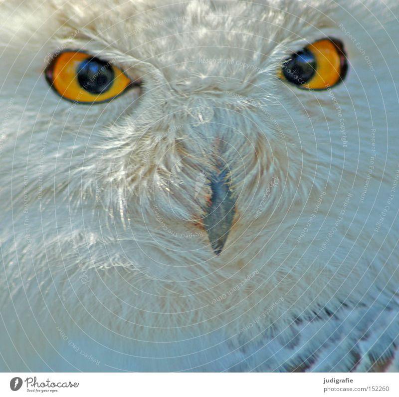 Räuber Schnee-Eule Eulenvögel Vogel Feder Schnabel Auge Greifvogel Blick gelb Farbe