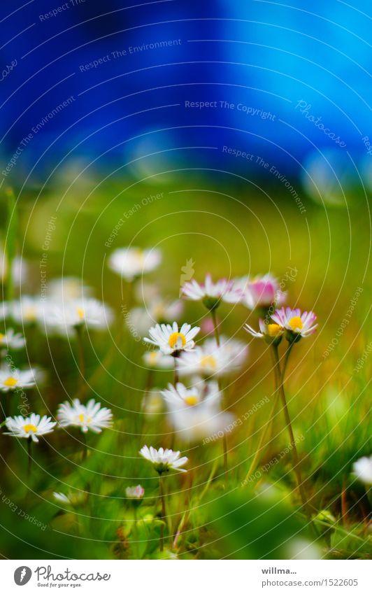 heile welt Natur Pflanze Sommer Gänseblümchen Wiese blau grün weiß Farbfoto Außenaufnahme Textfreiraum oben