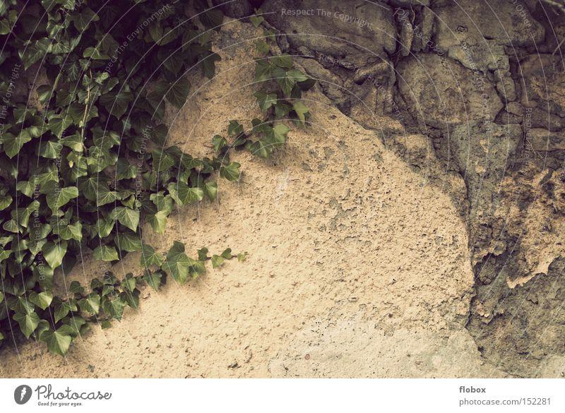 Multiple Persönlichkeit Wand Mauer Pflanze Kletterpflanzen Stein Putz verputzt dreckig kaputt Verfall zerstören Haus Detailaufnahme verfallen gemauert