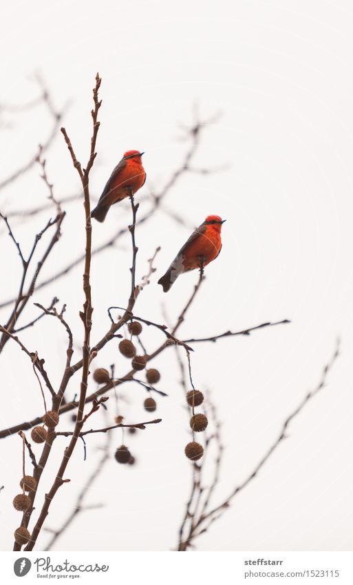 Männlicher Zinnoberschnäppervogel weiß Baum rot Tier Winter Vogel Wildtier Flügel geheimnisvoll Gelassenheit