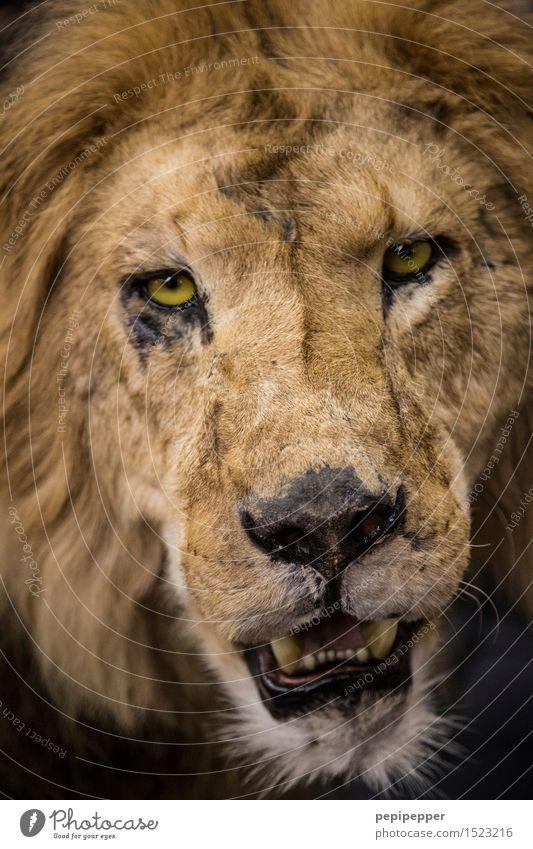 löwe Zirkus Zoo Tier Wildtier Totes Tier Katze Tiergesicht Fell Löwe 1 Aggression blond Kraft Stolz Gedeckte Farben Tierporträt Oberkörper Vorderansicht