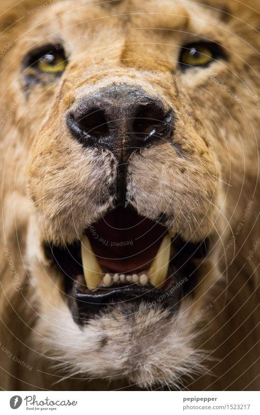 Löwenzahn Tier Wildtier Totes Tier Katze Tiergesicht Fell 1 Jagd Aggression braun gelb Kraft Zähne Maul Nase Farbfoto Nahaufnahme Unschärfe Tierporträt