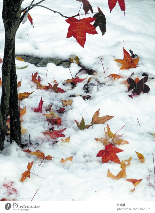 Schnee zu Weihnachten... Winter Baum Blatt Baumstamm Zweig braun schwarz Ahorn gelb kalt Dezember Vergänglichkeit Garten Park mehrfarbig rot Natur Helgi