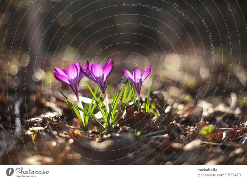 Krokusse Natur Pflanze Frühling Blume grün violett Frühlingsgefühle Farbfoto Außenaufnahme Menschenleer Sonnenlicht Schwache Tiefenschärfe