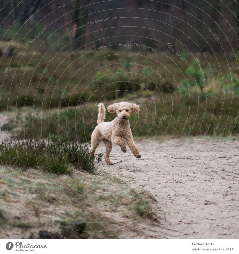 pudel-wohl Hund Natur grün Landschaft Tier Freude Wald Frühling Wiese braun wild frei niedlich Spaziergang sportlich rennen