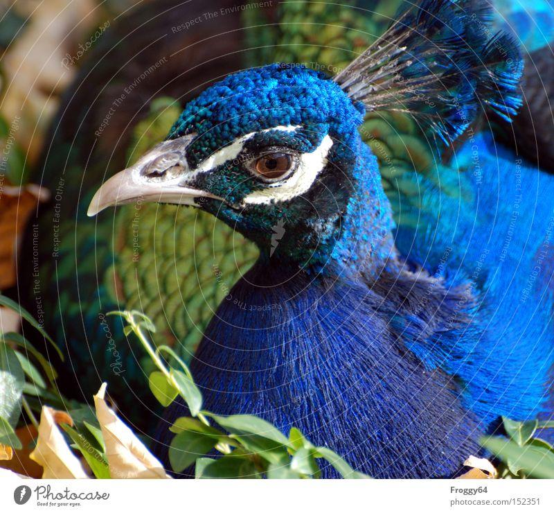 Weihnachtsgans blau Auge Vogel Feder Flügel Indien Schnabel Tier Krone Pfau