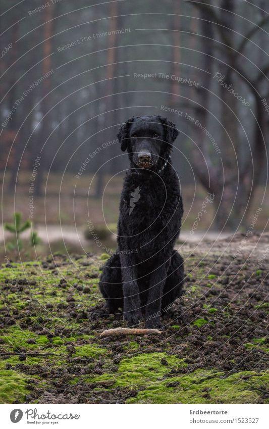 Wolf im Schafspelz Hund Natur Landschaft Tier Wald schwarz sitzen warten beobachten Gelassenheit Wachsamkeit Haustier Stock Tierliebe Jagdhund