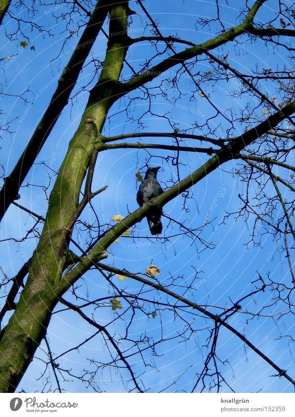 Winterkrähe Vogel Baum Ast blau braun Himmel Krähe Pflanze Tier warten