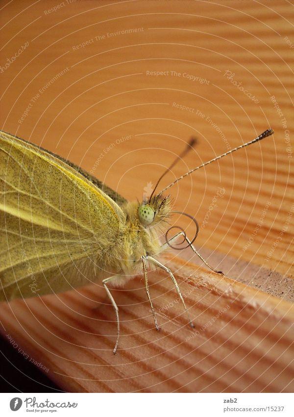 geschlüpftes Haustier Schmetterling entfalten Insekt Rüssel Fühler Makroaufnahme