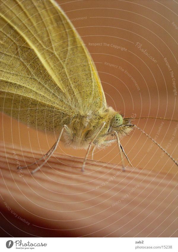 Mein Haustier 2 Schmetterling entfalten Insekt Rüssel Fühler Makroaufnahme