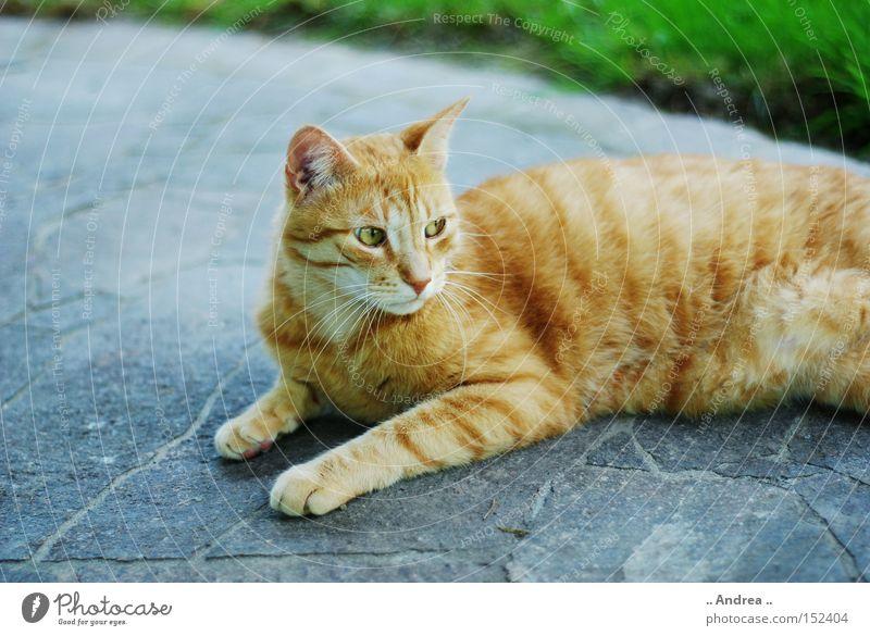 Red Tiger 16 Fell Katze Freundlichkeit grün rot Schnurrhaar Säugetier Hauskatze mietzi cat schurrhaare getigert rot traurig Profil