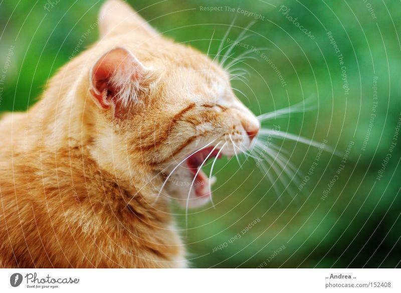Red Tiger 17 Fell Katze Freundlichkeit grün rot Schnurrhaar Säugetier Hauskatze mietzi cat schurrhaare getigert rot traurig Profil
