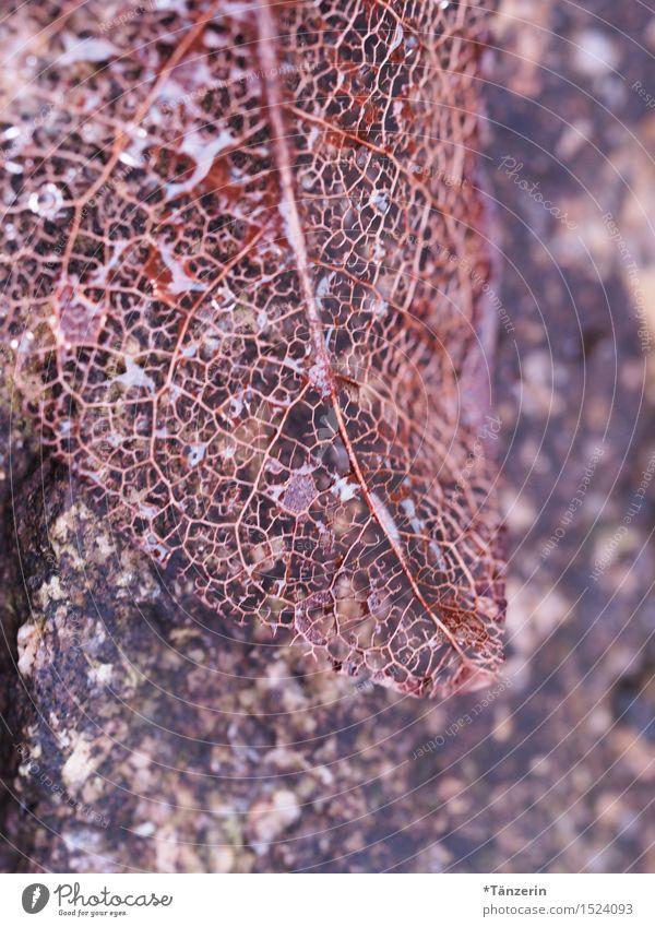 filigranes Blattwerk Natur Pflanze Wassertropfen Herbst Winter ästhetisch natürlich schön braun Farbfoto Gedeckte Farben Außenaufnahme Makroaufnahme