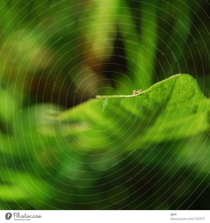 Löwenspinne Natur grün Pflanze ruhig Ferne Erholung Wiese klein Konzentration Löwenzahn Spinne Genauigkeit winzig