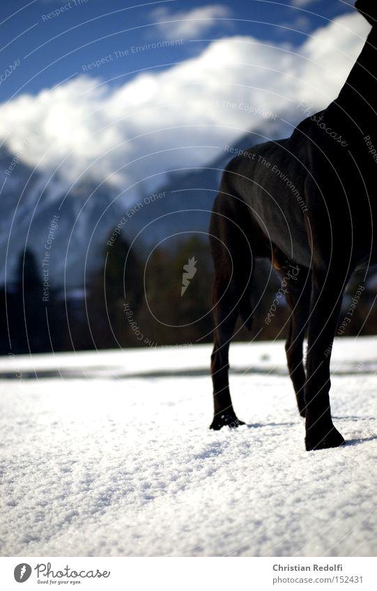 25.dezember Himmel blau Winter Wolken Tier Schnee Berge u. Gebirge Hund Landschaft Spaziergang Labrador