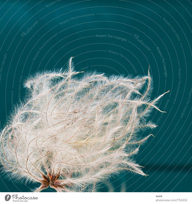 Wehendes Haar weiß Pflanze weich zart leicht sanft Quaste Flaum Kitzel blau-grün Härchen