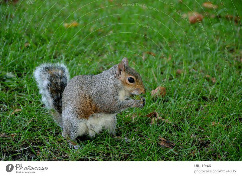 Eichhörnchen mit Appetit. Sommer Natur Schönes Wetter Gras Park Menschenleer Tier Wildtier Tiergesicht Fell Pfote 1 Fressen genießen authentisch Coolness frech