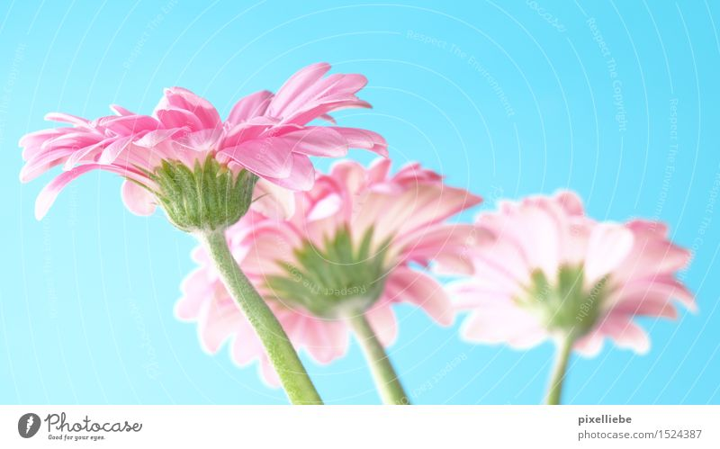 Blumengruß Himmel Natur Pflanze blau Sommer Umwelt Blüte Frühling natürlich Garten rosa Geburtstag Geschenk Schönes Wetter Wellness