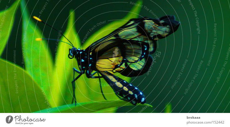 farben des regenwalds Tier Schmetterling Urwald exotisch Südamerika tropisch Ecuador