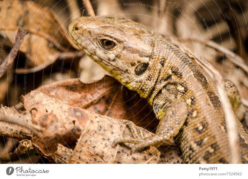 Eidechse Wildtier Echte Eidechsen Reptil Mauereidechse Lacertidae 1 Tier krabbeln braun Natur Farbfoto Außenaufnahme Makroaufnahme Tag