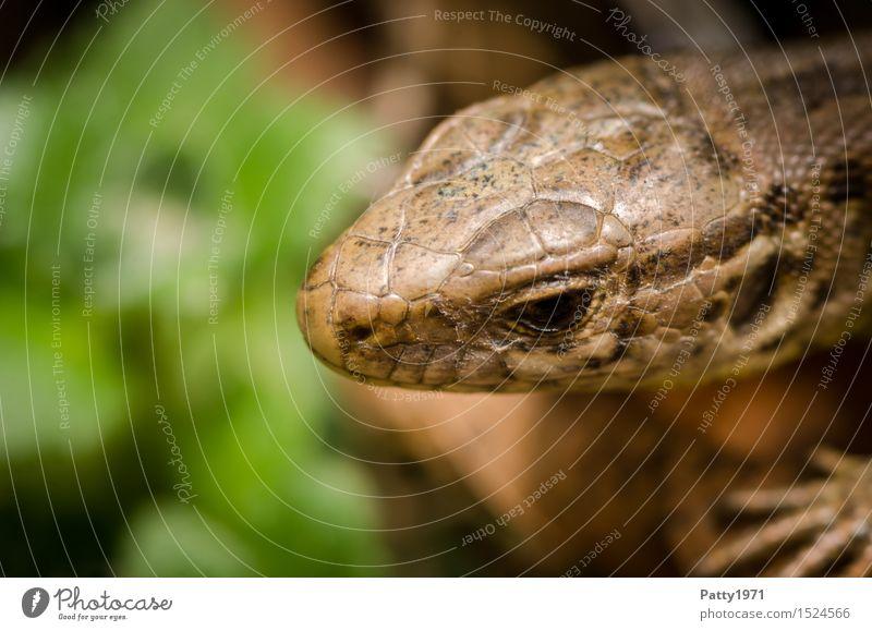 Eidechse Natur Tier braun Wildtier dünn krabbeln Reptil Echte Eidechsen Mauereidechse
