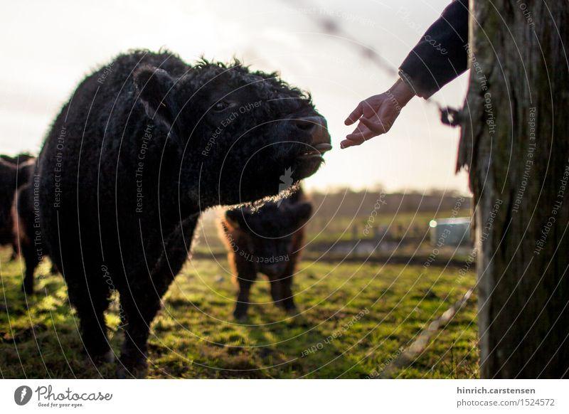 Galloway Tongue Umwelt Natur Landschaft Sonne Sonnenlicht Herbst Schönes Wetter Tier Nutztier Kuh 1 Leben Rind Bauernhof Landleben Farbfoto Außenaufnahme