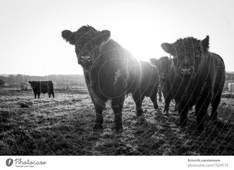 Galloway Umwelt Landschaft Wolkenloser Himmel Sonne Sonnenlicht Herbst Schönes Wetter Tier Nutztier Kuh Tiergruppe Herde Freiheit Rind Caddle Wiese Weide