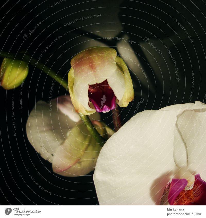 dekadent schön weiß Blüte violett rein Blühend Reichtum Orchidee erhaben Blume