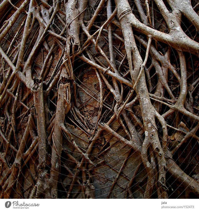 Temple Roots Natur alt Mauer Ast viele stark verfallen Ruine durcheinander eng Wurzel bedeckt überdeckt Unterholz gewachsen