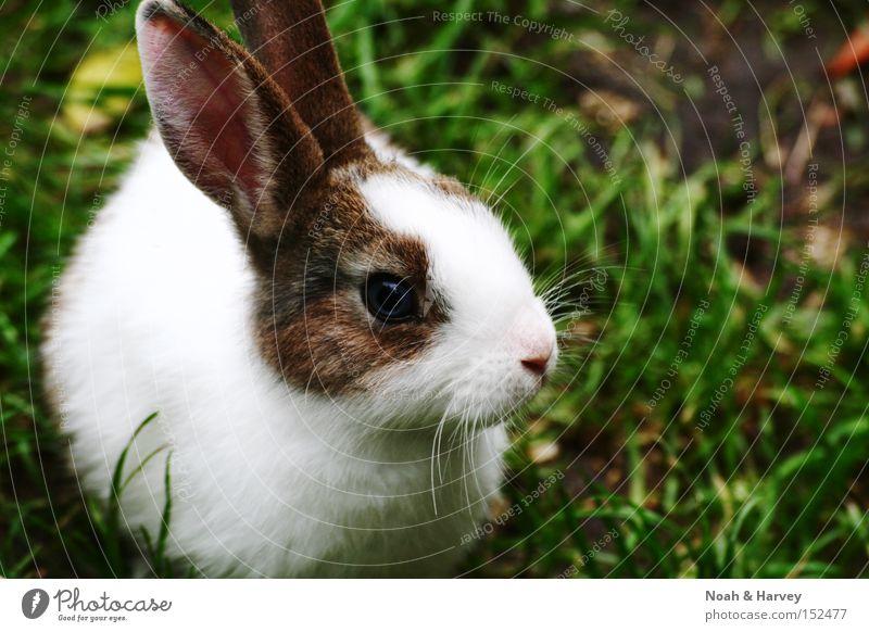 Hase Auge Gras Ohr Zoo Säugetier Hase & Kaninchen Haustier Tier Löffel