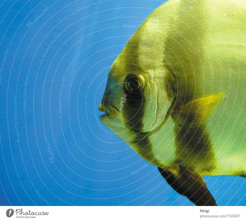 Weihnachtskarpfen... Fisch Aquarium Wasser nass Schuppen Flosse Maul Auge Kieme gelb blau Lippen Blick Langeweile Makroaufnahme Nahaufnahme Scalar Helgi