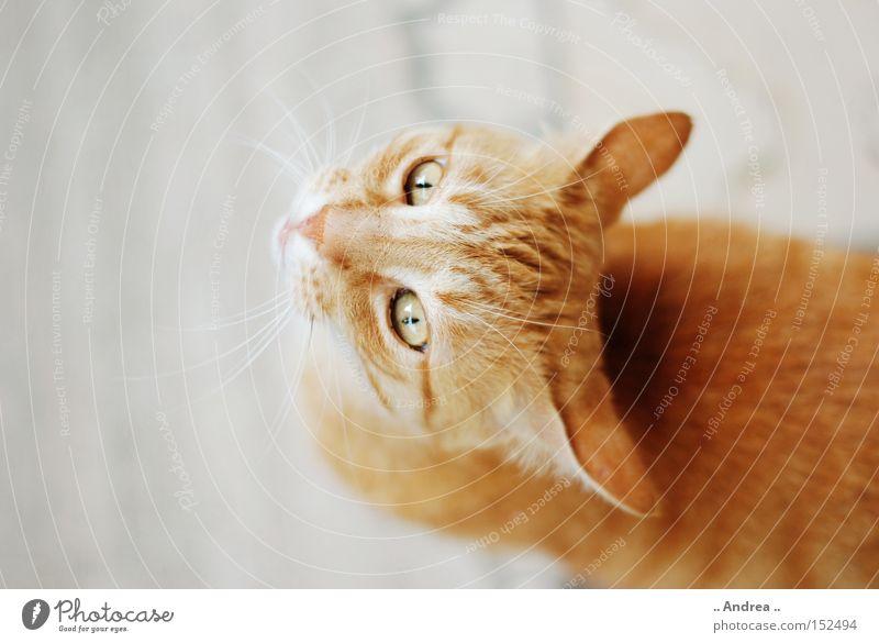 Red Tiger 18 Fell Katze Freundlichkeit grün rot Schnurrhaar Säugetier Hauskatze mietzi cat schurrhaare getigert rot traurig Profil