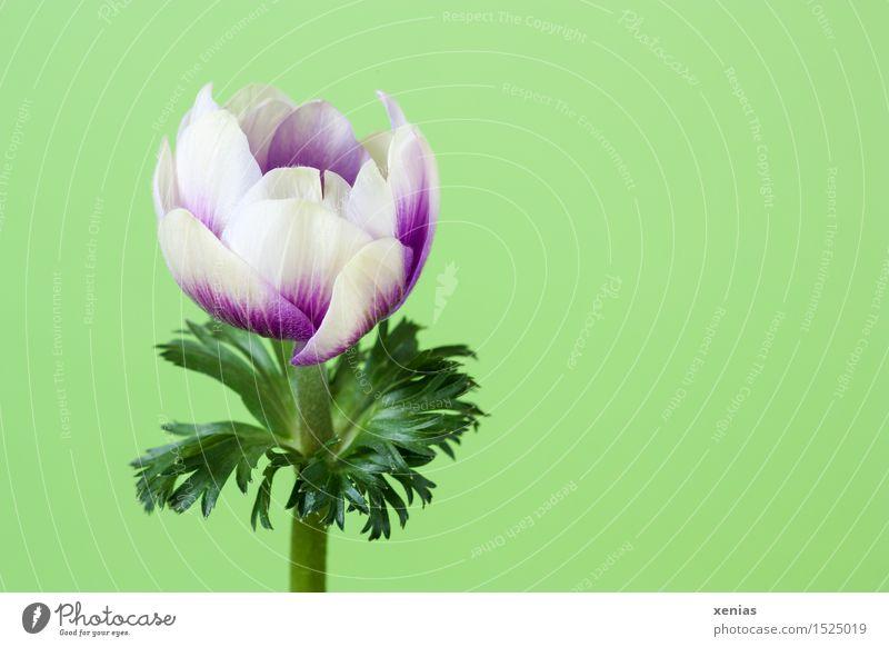 Windröschen öffnet sich vor grünem Hintergrund Anemonen Frühling Blume Blüte Garten violett weiß Frühlingsgefühle Garten-Anemone Innenaufnahme Blühend