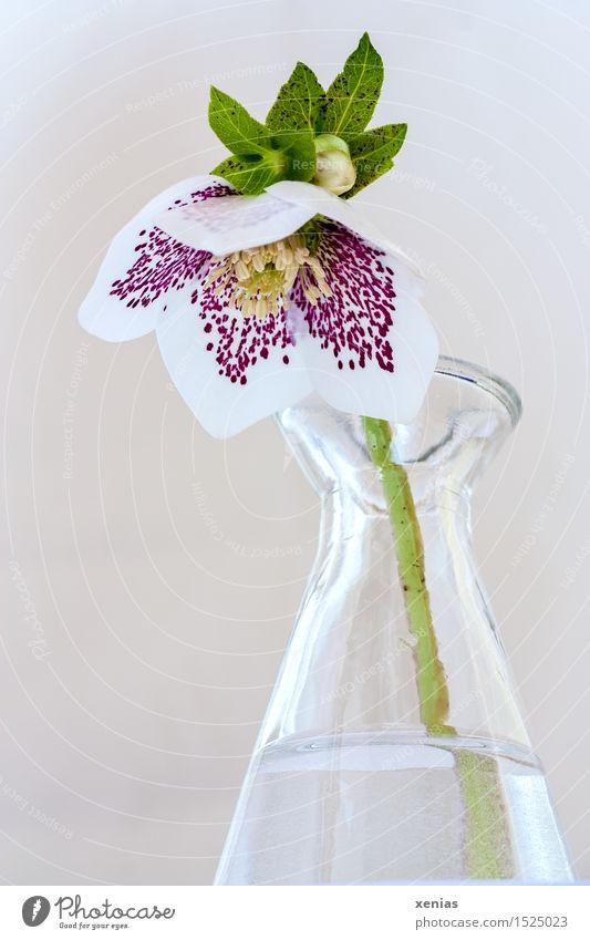 Christrose in Glasvase Frühling Winter Blüte Helleborus Lenzrose Vase Wasser gelb grün violett weiß ruhig gepunktet Farbfoto