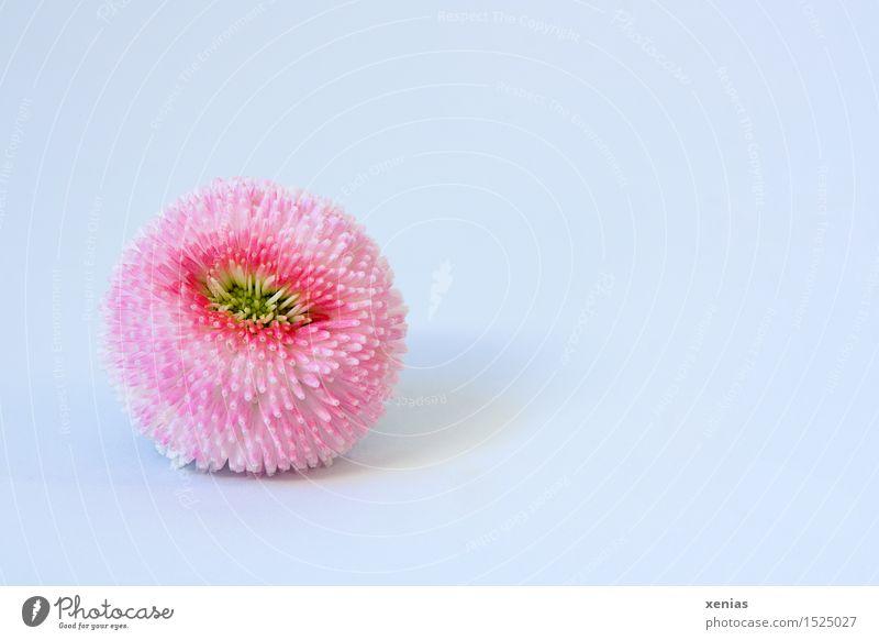 gepflückte Bellis weiß gelb Blüte Frühling rosa weich Gänseblümchen