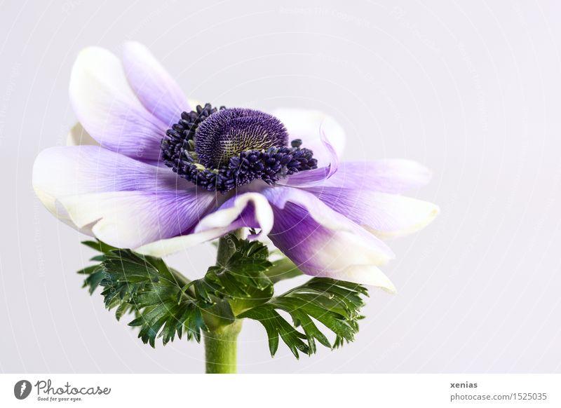 Kronen-Anemone mit Violett vor hellem Hintergrund Anemonen Frühling Blume Blüte Garten-Anemone grün violett weiß heller Hintergrund Hintergrund neutral