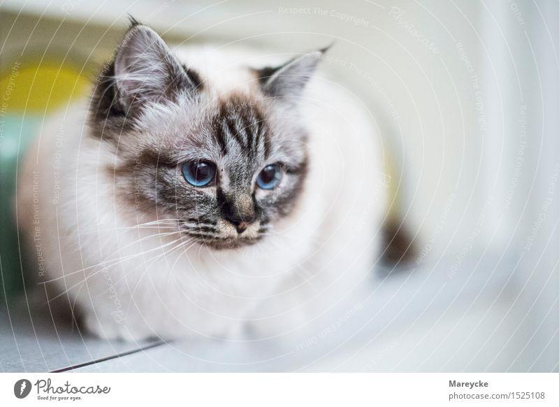 Blaue Augen Tier Haustier Katze 1 blau Zufriedenheit heilige Birma Katzenzucht Farbfoto Innenaufnahme Menschenleer Textfreiraum rechts Tag Starke Tiefenschärfe