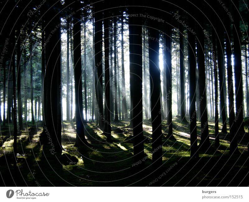 Kathedrale Baum Sonne Wald dunkel hell Beleuchtung Schweiz geheimnisvoll Baumstamm Moos Säule Lichtstrahl Blätterdach