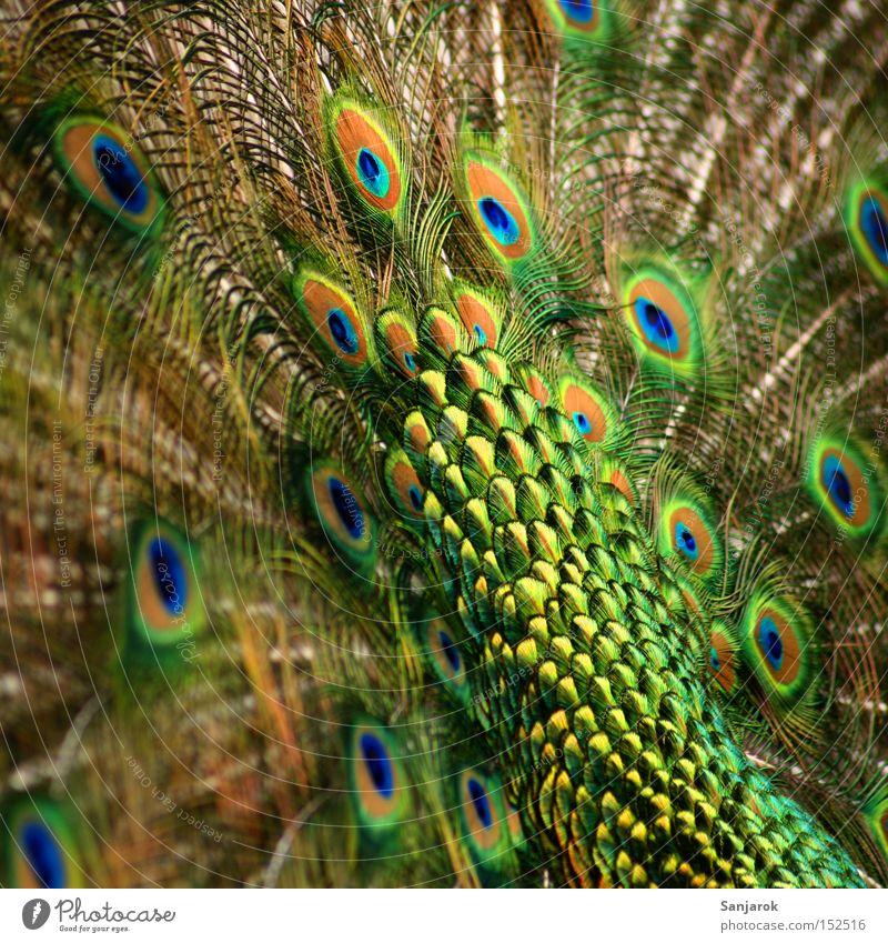 Der hat 'n Rad ab Pfau grün schillernd maskulin Allüren schön Vogel Stolz Feder Pfauenfeder