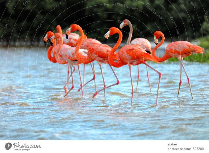 Flamingos, Phoenicopterus roseus, stehend im Fluss schön Wasser Tier Bewegung Vogel Zusammensein wild wandern Wildtier laufen warten Tiergruppe niedlich