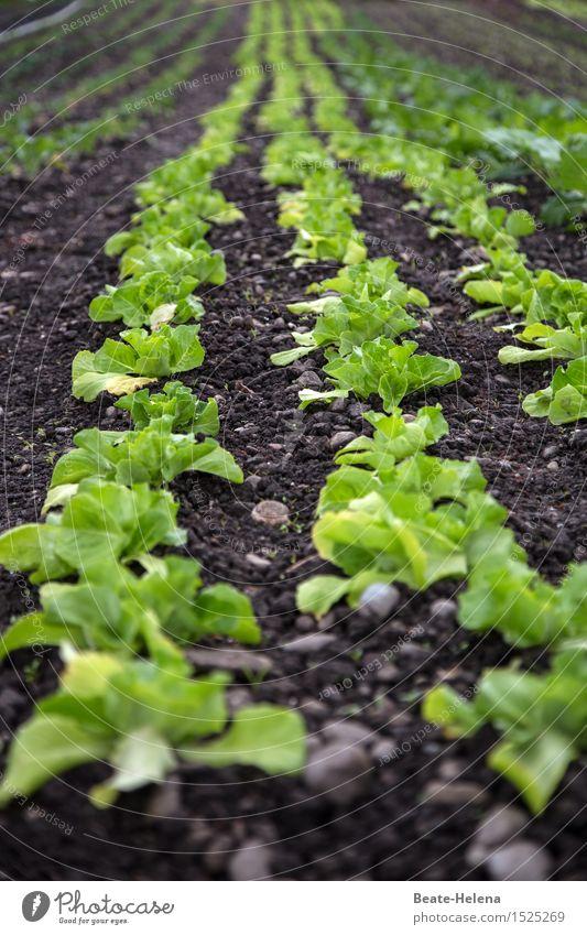da haben wir den Salat Natur Pflanze Sommer grün Gesunde Ernährung Gesundheit Garten Lebensmittel braun Wachstum frisch Beginn genießen Fitness Sauberkeit
