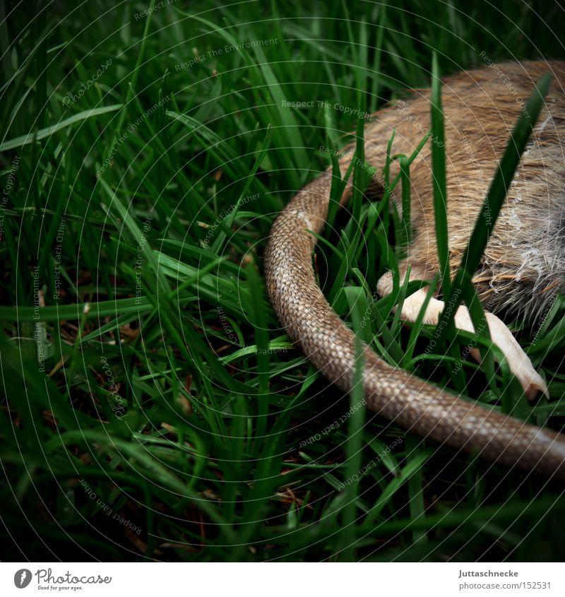 Cat´s Dinner Wiese Tod Gras Trauer Vergänglichkeit Verzweiflung Säugetier Schwanz töten Nagetiere Beute Ratte Katzenfutter