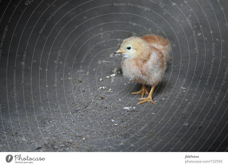FREILANDHALTUNG schön Tier Tierjunges Leben Bewegung klein Freiheit Vogel Wachstum laufen Feder Flügel Schutz Sicherheit zart Gastronomie