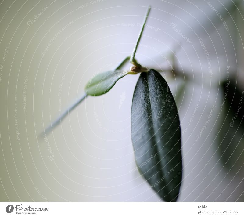 Öl grün Blatt Zweig Oliven Immergrüne Pflanzen Olivenbaum Olivenblatt