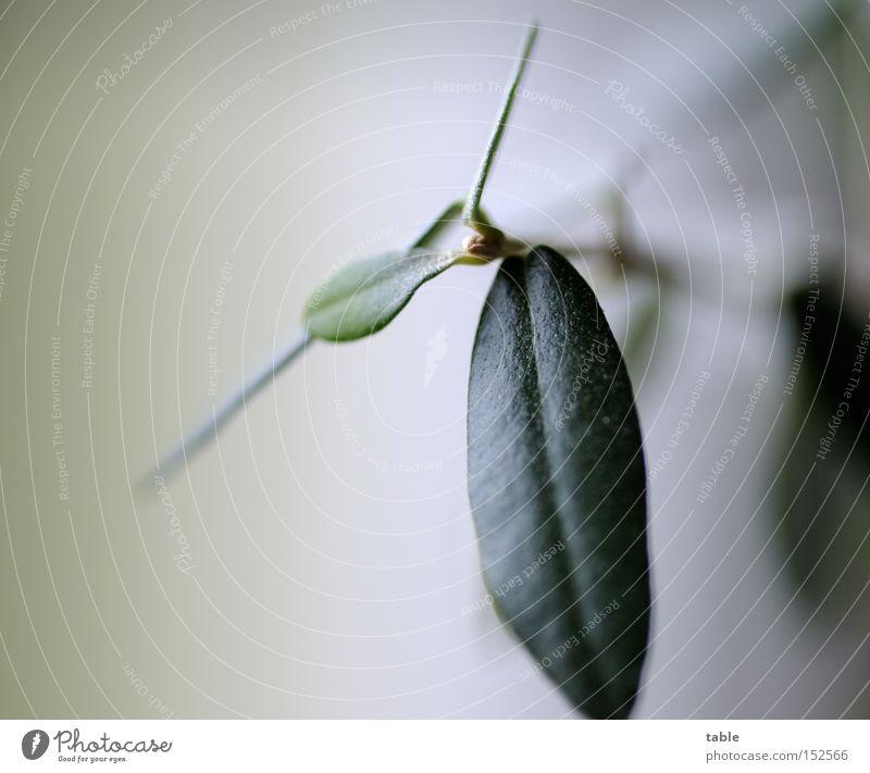 Öl Oliven Olivenblatt Olivenbaum Blatt Zweig grün Makroaufnahme Nahaufnahme Olivenzweig Immergrüne Pflanzen Olea europaea