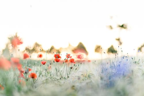 Spreedorado   Mohn durch Korn Natur Pflanze schön Sommer Sonne rot Landschaft ruhig Umwelt Blüte Wiese Gras hell Horizont Feld Wachstum