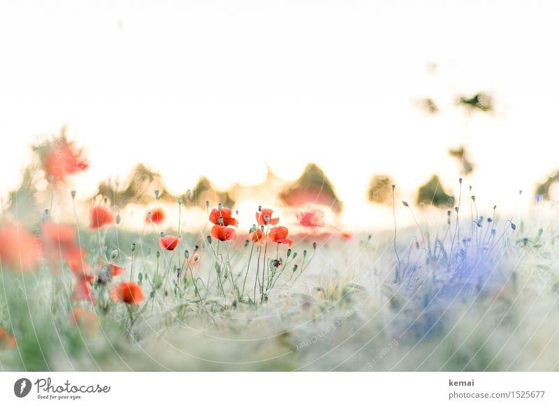 Spreedorado | Mohn durch Korn Umwelt Natur Landschaft Pflanze Sonne Sonnenaufgang Sonnenuntergang Sonnenlicht Sommer Schönes Wetter Gras Blüte Wildpflanze